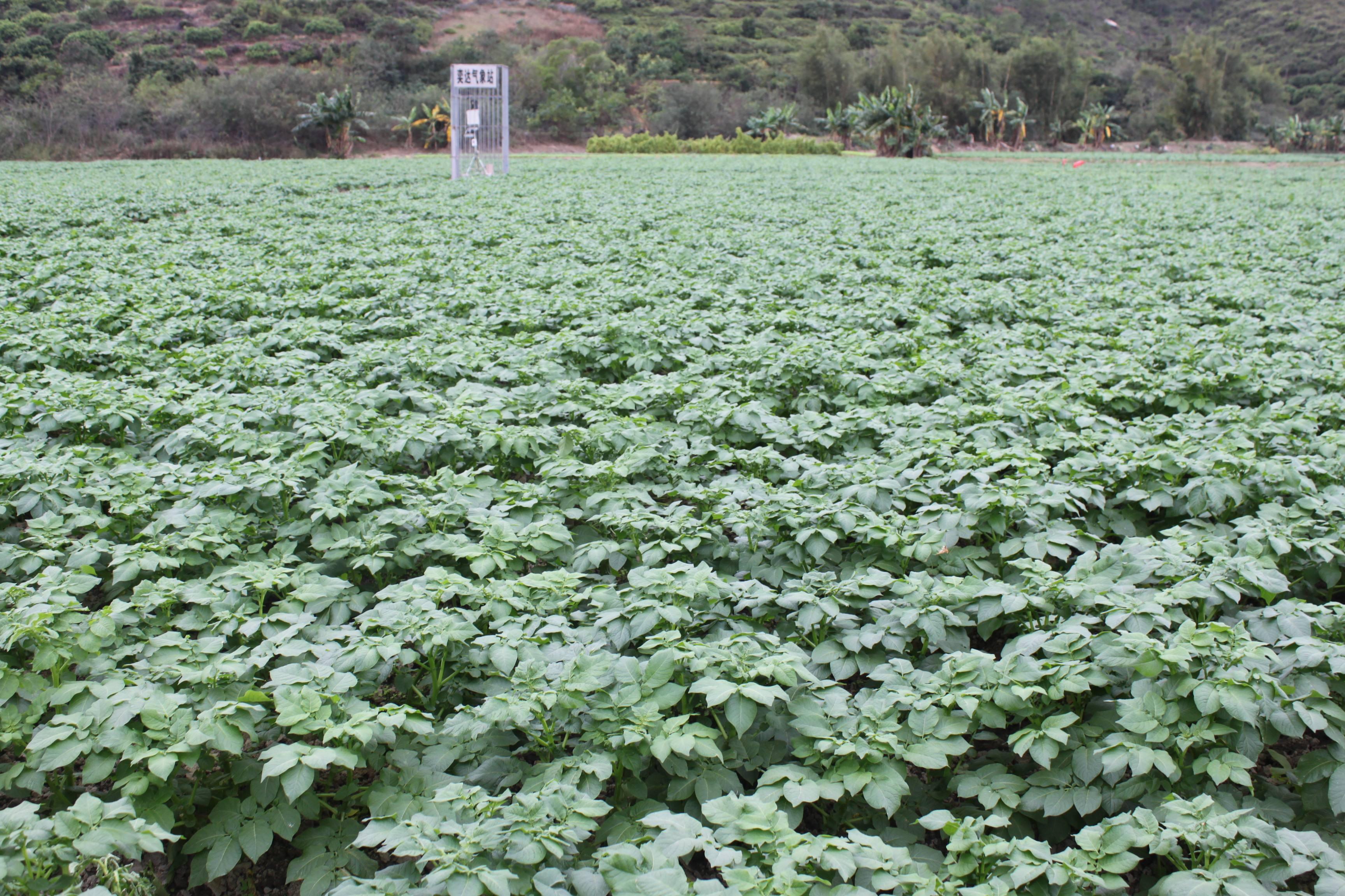 广东冬种马铃薯高产高效栽培技术_薯卫士_马铃薯支持平台