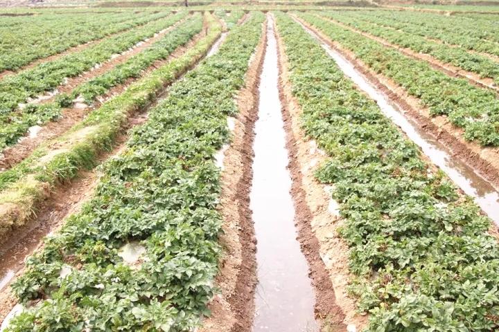 冬季马铃薯肥水管理掌握这3点即可增产_薯卫士_马铃薯支持平台