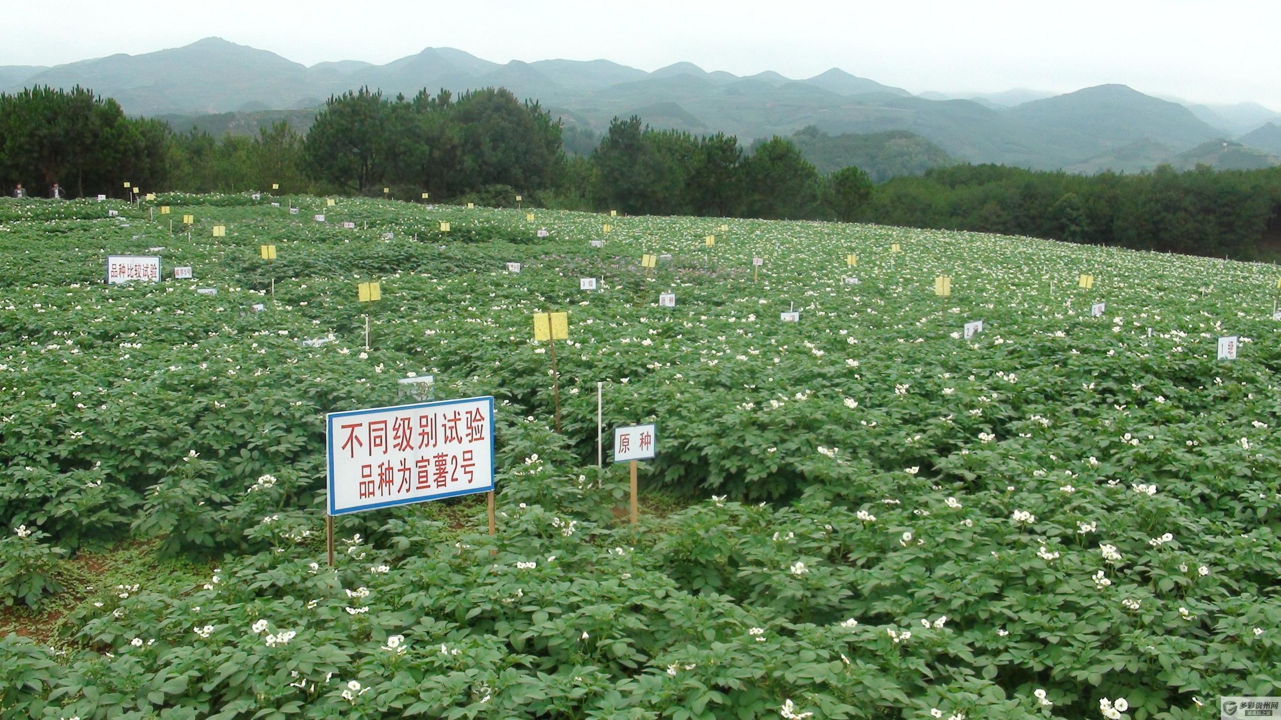 """贵州威宁""""四个一""""推动马铃薯产业转型升级_薯卫士_马铃薯支持平台"""